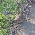 Ratte oder Igel?