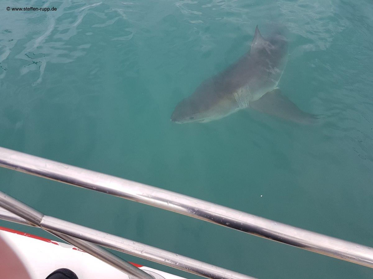 8. Tag in Kapstadt - Haitauchen im Käfig