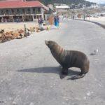 12. Tag in Kapstadt – Die Robben auf Duiker Island