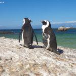 Tag 4 in Kapstadt – Teil 3, Pinguine und bunte Häuschen