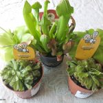 Trauermücken, Obstfliegen und Fleischfressende Pflanzen